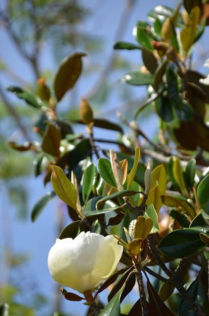 Southern Magnolia III 4-15-21