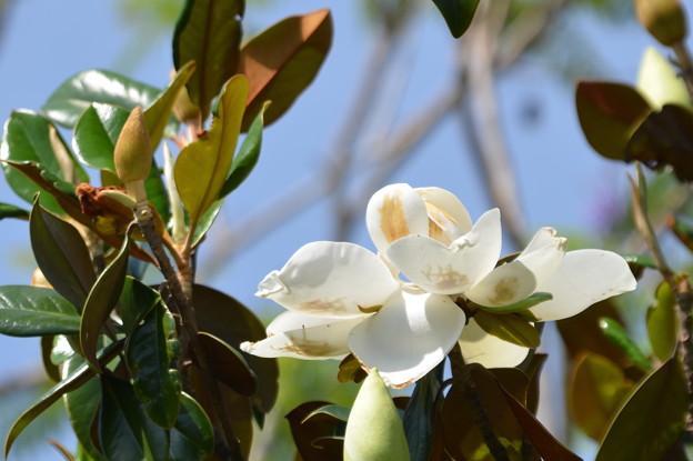Southern Magnolia IV 4-15-21