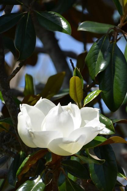 Southern Magnolia VI 4-15-21