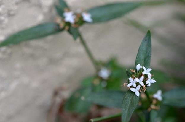 Woodland False Buttonweed 5-1-21