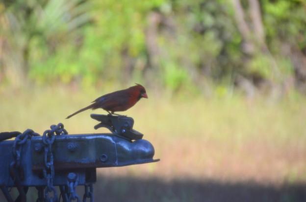 Northern Cardinal 5-29-21