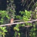 Northern Cardinal I 5-30-21