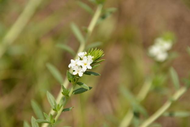 Pineland Heliotrope I 6-10-21