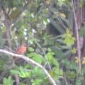 A Cardinal Fledgling 6-16-21