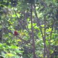 Dad Cardinal 6-16-21