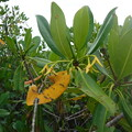 Red Mangrove 6-25-21