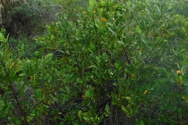 Black Mangrove 6-25-21
