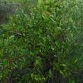 Photos: Black Mangrove 6-25-21