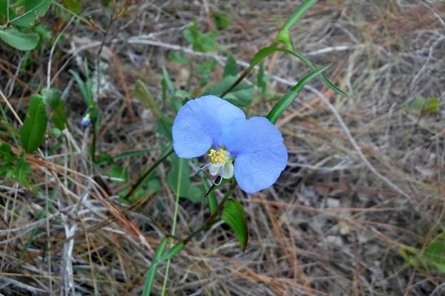 Photos: Whitemouth Dayflower 6-25-21