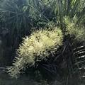 Palmetto Palm Flowers 6-24-21
