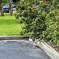 Immature Little Blue Heron 7-23-21