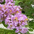 Crape Myrtle and a Bee 7-26-21