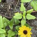Beach Sunflower 8-10-21