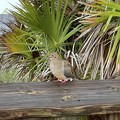 Mourning Dove 8-10-21