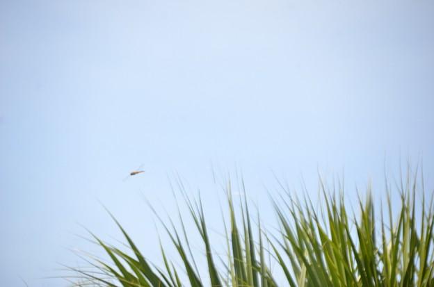 Orange Meadowhawk 8-22-21
