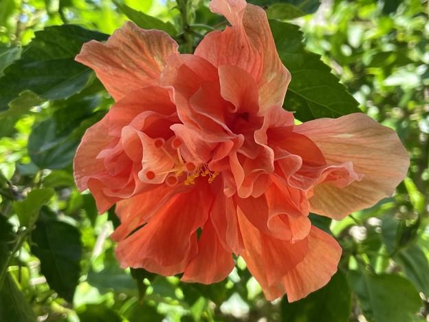 Hibiscus III 8-30-21