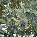 Silver Buttonwood 8-30-21