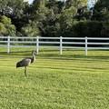 Florida Sandhill Crane 9-23-21