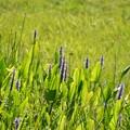 Pickerelweeds and  Swamp Smartweeds 9-26-21