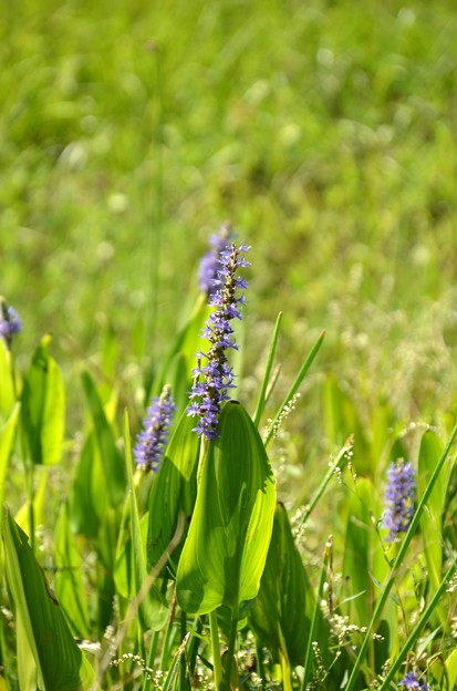 Pickerelweed 9-26-21