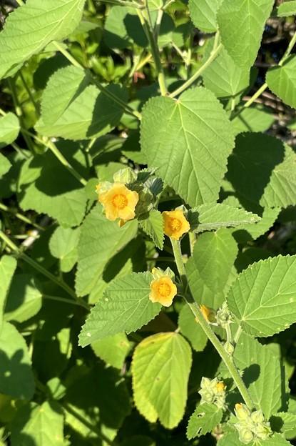 Sida cordifolia 9-27-21