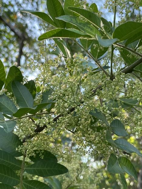 Brazilian Peppertree 9-27-022