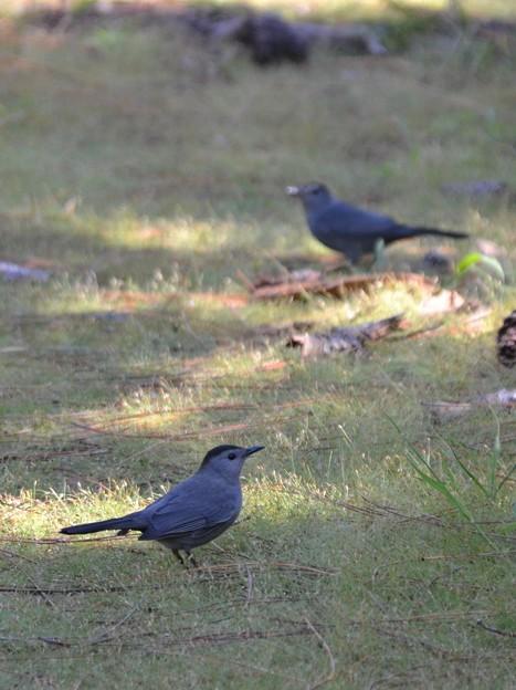 Gray Catbirds I 10-18-21