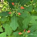 Wild Poinsettia 9-27-21