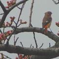 桜とジョウビタキ雌