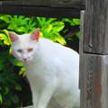 Photos: 白猫