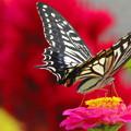 Photos: 花とアゲハ蝶