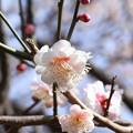 Photos: 相模原北公園の梅園