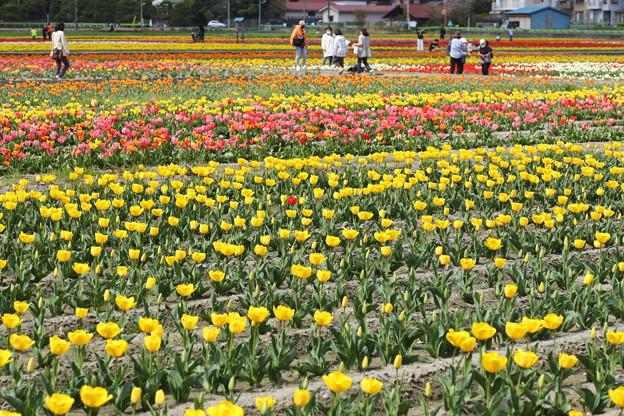 羽村市チューリップ祭