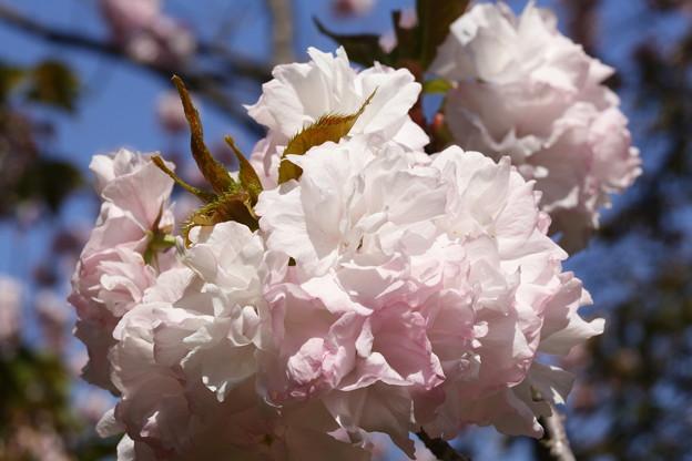 遅咲き桜 大船フラワーセンタ
