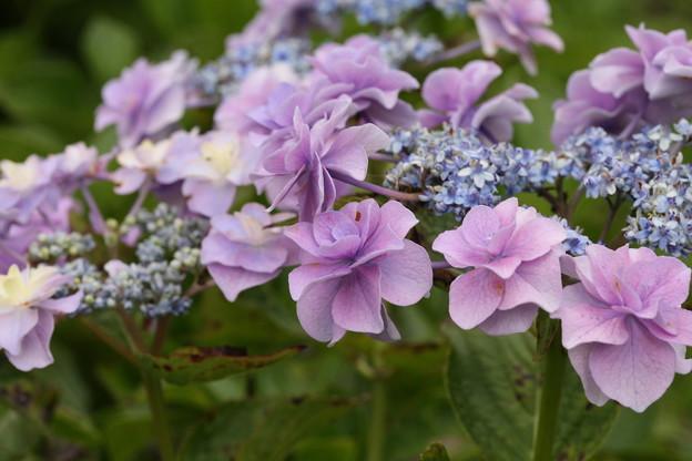 相模原北公園の紫陽花