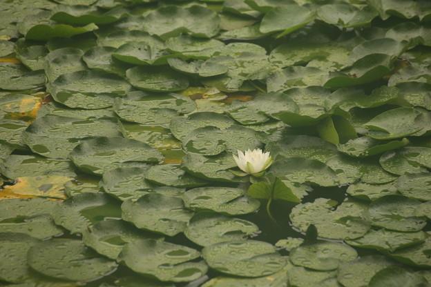 三ッ池公園の水蓮