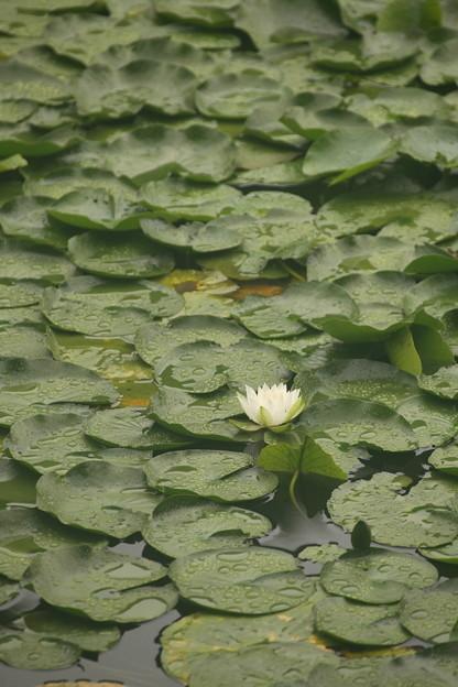 三ッ池公園の水蓮 一輪だけ咲いてました