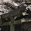 いつかから続く桜