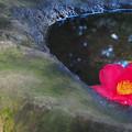 手水鉢の椿