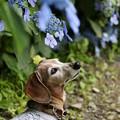 紫陽花の傘の下