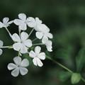 ルリマツリ(白花)