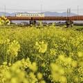Photos: 河原は菜の花畑