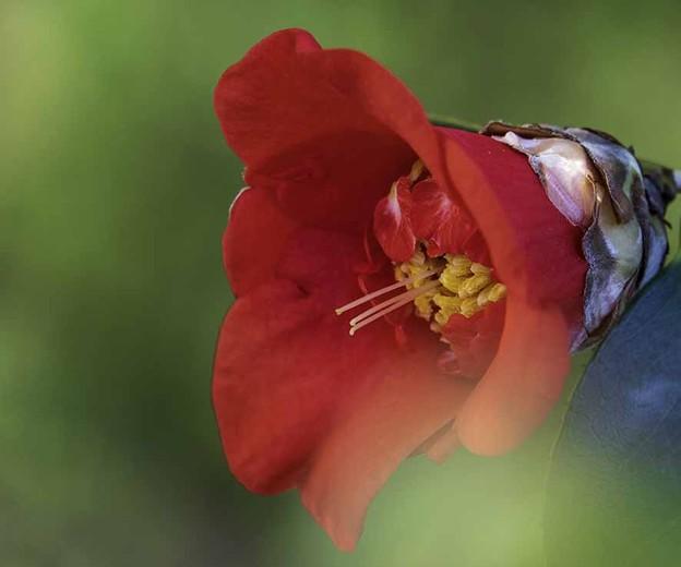 我が家の「肥後椿」赤