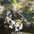 名残りの 桜
