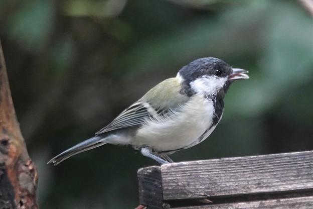 ニワトリ 庭鳥 庭撮り・・・
