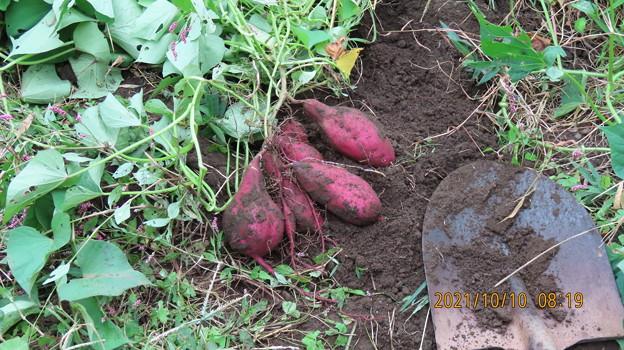 20211010サツマイモの収穫2