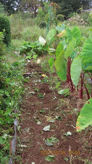 20211010サツマイモの収穫3