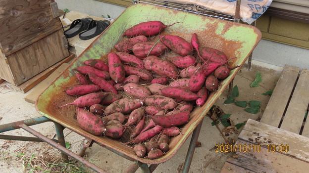 20211010サツマイモの収穫4