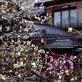 Photos: 2021_0228_134950 旅館白梅の前の白梅