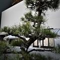 Photos: 記念樹